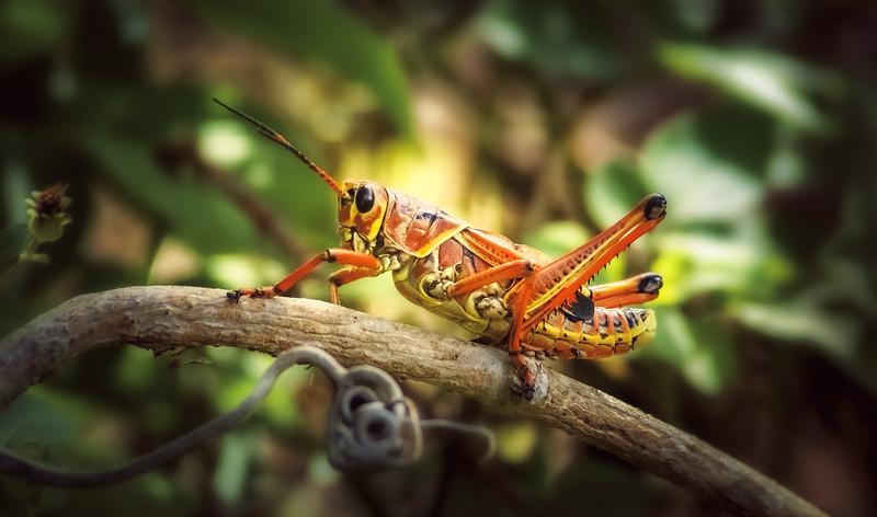Grasshoppers 66.jpg