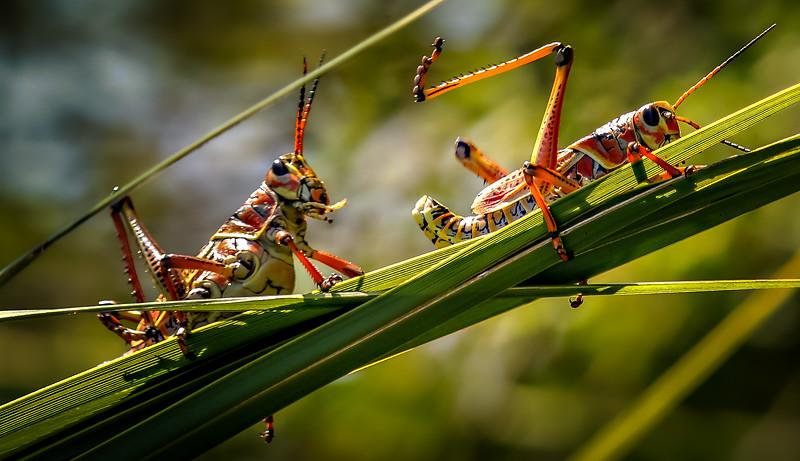 Grasshoppers 92.jpg