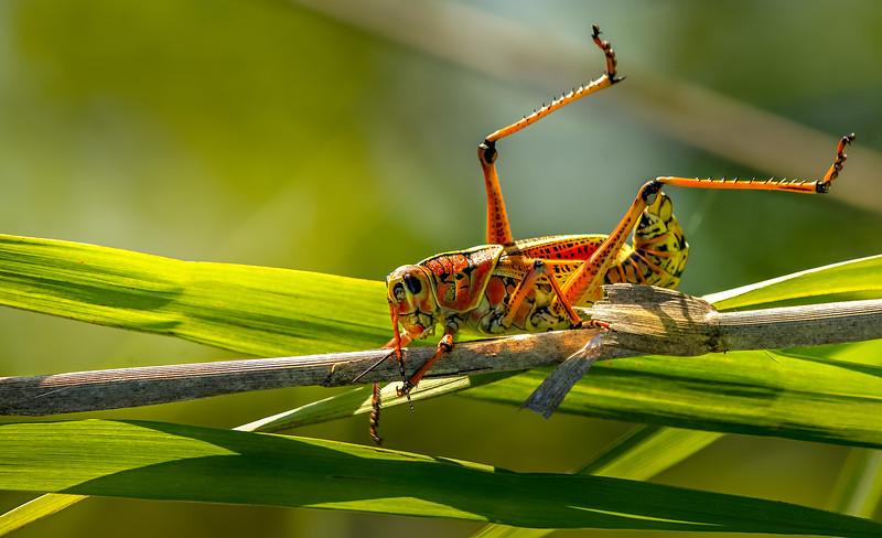 Grasshoppers 12.jpg