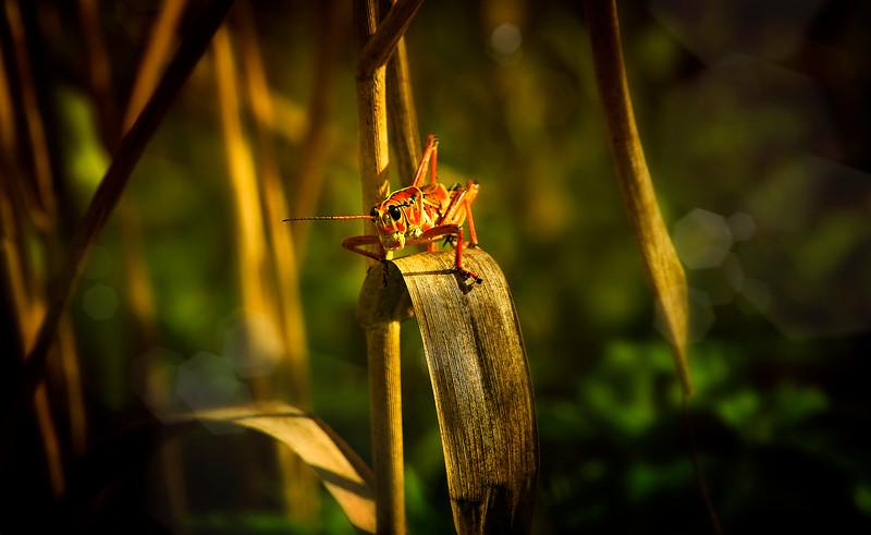 Grasshoppers 32.jpg