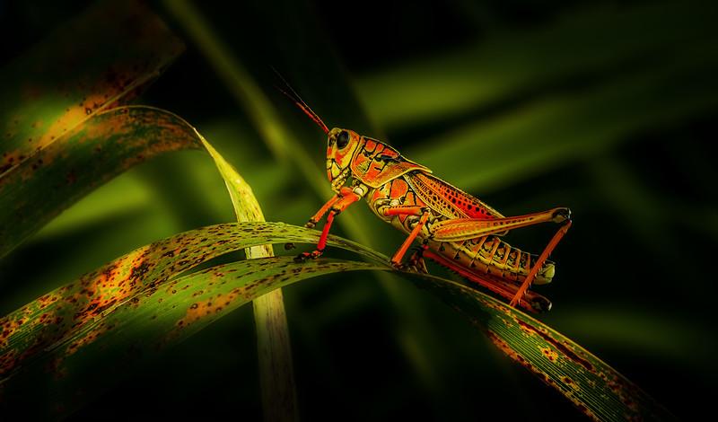 Grasshoppers 109.jpg