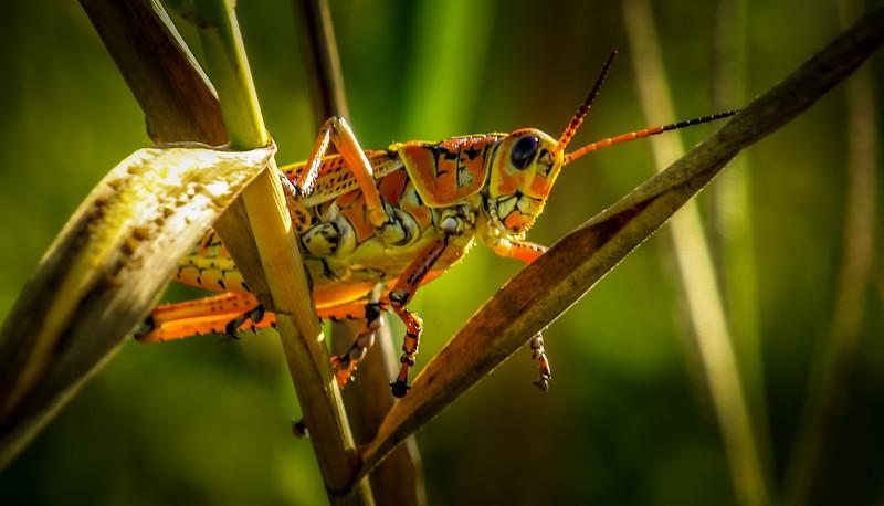 Grasshoppers 93.jpg