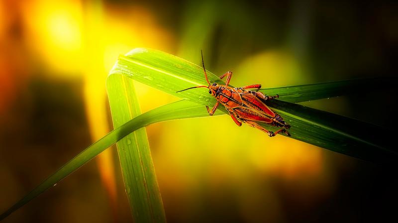 Eastern Lubber Grasshoppers-2- (13).jpg