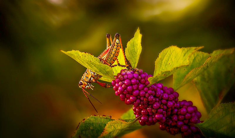Grasshoppers 48.jpg