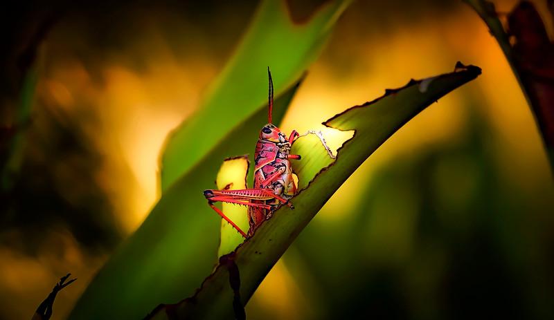 Grasshoppers 52.jpg