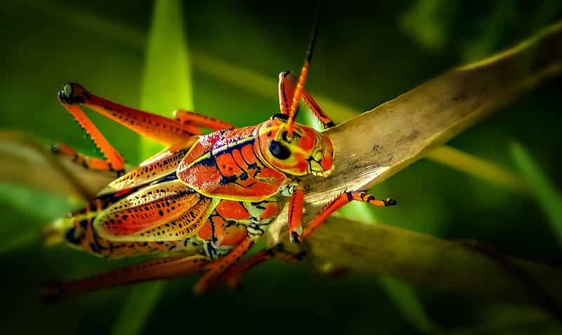 Grasshoppers 97.jpg