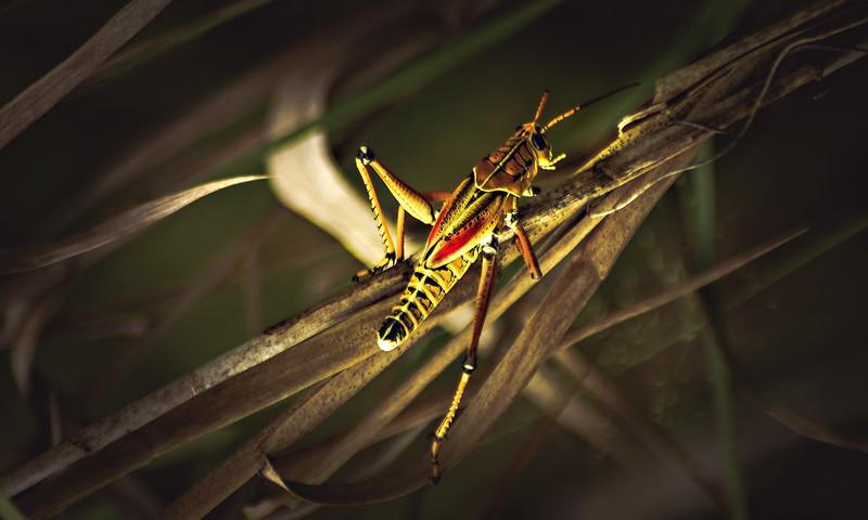Grasshoppers 68.jpg