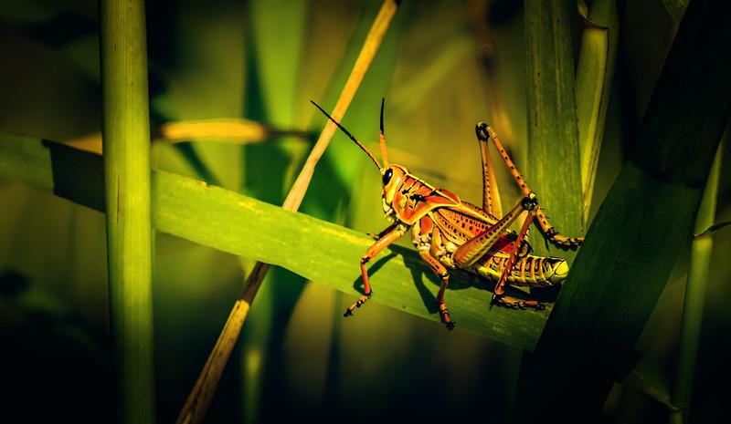 Grasshoppers 96.jpg