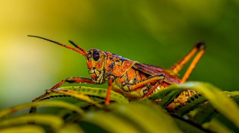 Eastern Lubber Grasshoppers-118.jpg