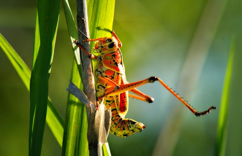 Grasshoppers 74.jpg