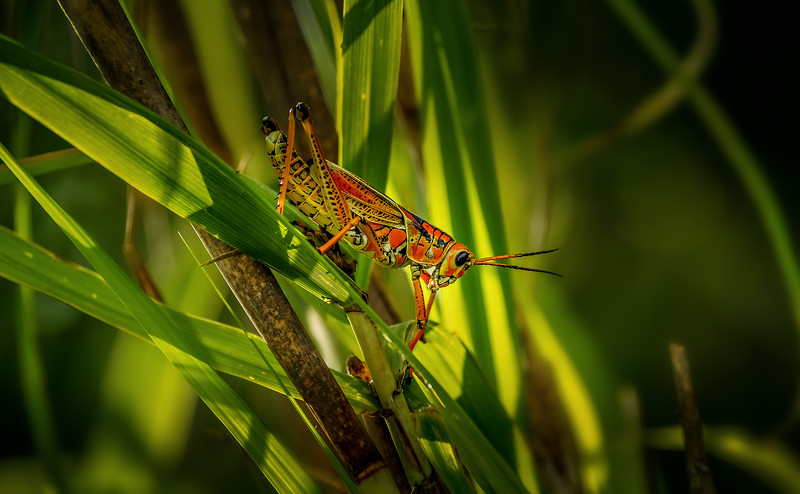 Grasshoppers 114.jpg