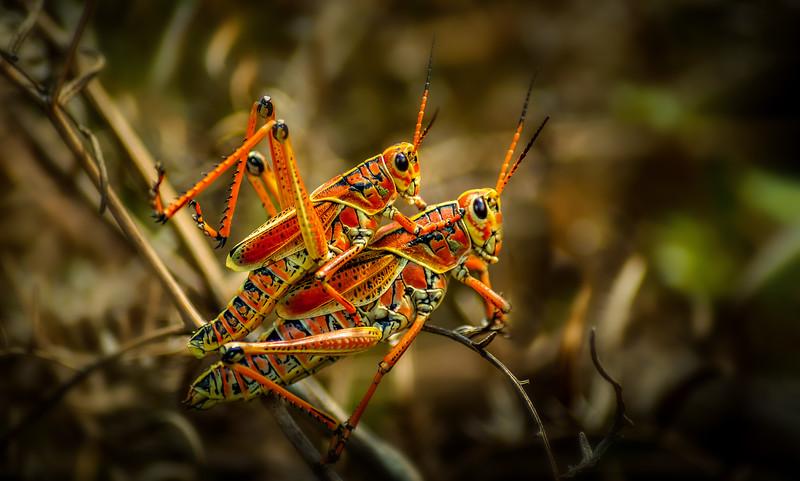 Grasshoppers 100.jpg
