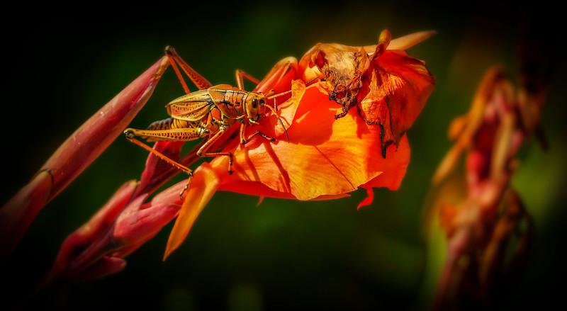 Eastern Lubber Grasshoppers-2- (1).jpg