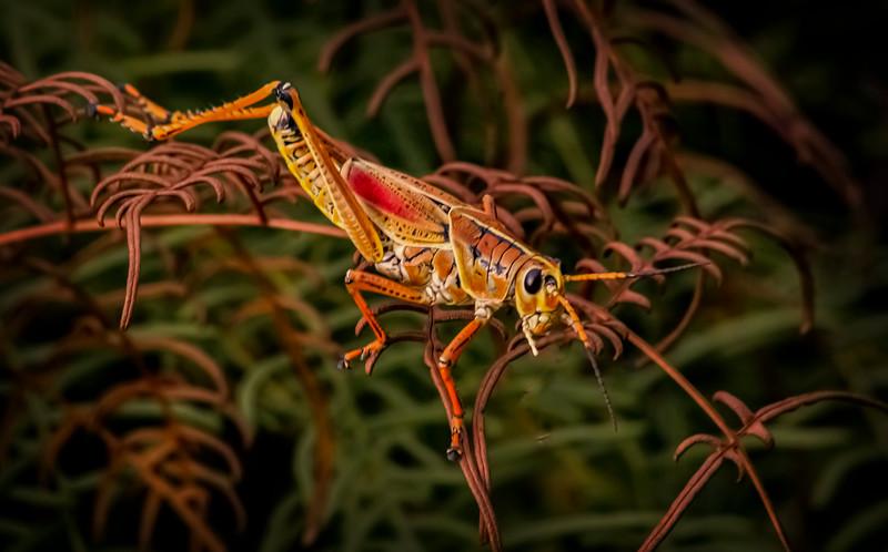 Grasshoppers 81.jpg