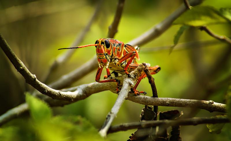 Grasshoppers 55.jpg
