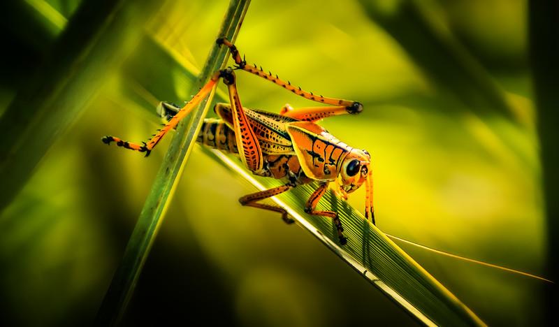 Grasshoppers 64.jpg