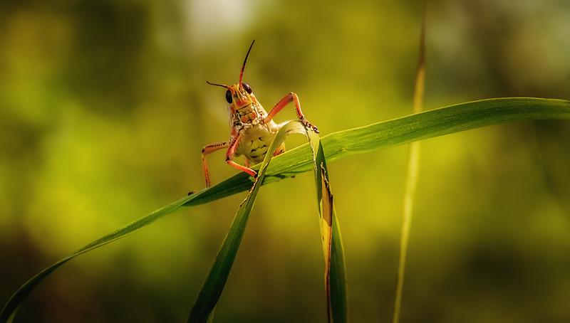 Grasshoppers 113.jpg