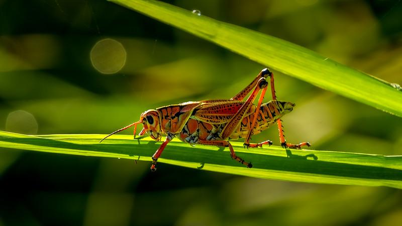 Grasshoppers 73.jpg