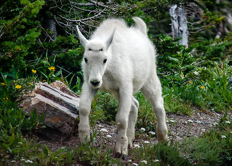 """July 29,<br /> <br /> Mountain goats can be found in the high altitude mountains here in North America.  In the early spring it is a joy to see the young goats.  Their beautiful white coat along with their knobby knees yet sure footedness are a joy to see.  These goats can climb steep cliffs and ice.  They can be found along the highest parts of mountains and along the roadside at the summit.  When hiking on some of our highest mountains it is common to see a few of these.  <br /> <br /> It is always a sheer delight to see animals with their young.  This image of this young mountain goat was taken in Glacier National Park. We were at the summit of the Going-to-the-Sun-Road and spotted this young one following its mother.   What a gift to see these beautiful animals.  They appear to be very trusting of humans.  This one passed close by our jeep.  <br /> <br /> """"Walk in kindness toward the Earth and every living being. Without kindness and compassion for all of Mother Nature's creatures, there can be no true joy; no internal peace, no happiness. Happiness flows from caring for all sentient beings as if they were your own family, because in essence they are. We are all connected to each other and to the Earth."""" ~ Sylvia Dolson<br /> <br /> Peace."""