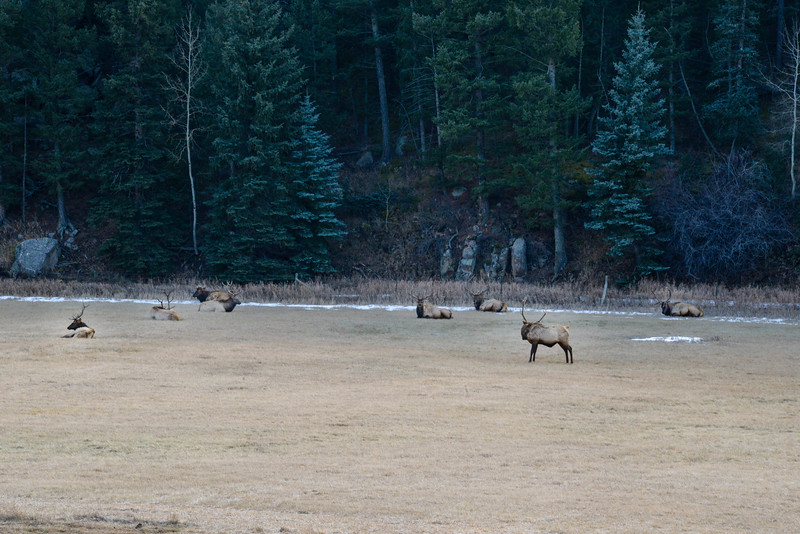 "December 11,<br /> <br /> Here in the foothills with nature as a backdrop, one notices the comings and goings of animal life.  This week my husband noticed we had a fox den in our backyard down by the meadow.  We have learned to recognize the sounds of mountain lions, fox, turkeys, elk, and birds.  It is truly like living in a wild kingdom.  Respectfully we live amongst these animals. <br /> <br /> This week as I turned into the parking lot of a local business, I noticed these 8 bull elk relaxing in the field across the road.  It was unique to see this number of males together.  What would cause them to seek each other's company?<br /> <br /> I am grateful for the wildlife that call this area home.  It is a gift to live so close to nature.  <br /> <br /> ""Those who contemplate the beauty of the Earth find reserves of strength that will endure as long as life lasts.""<br /> ~Rachel Carson<br /> <br /> Peace."