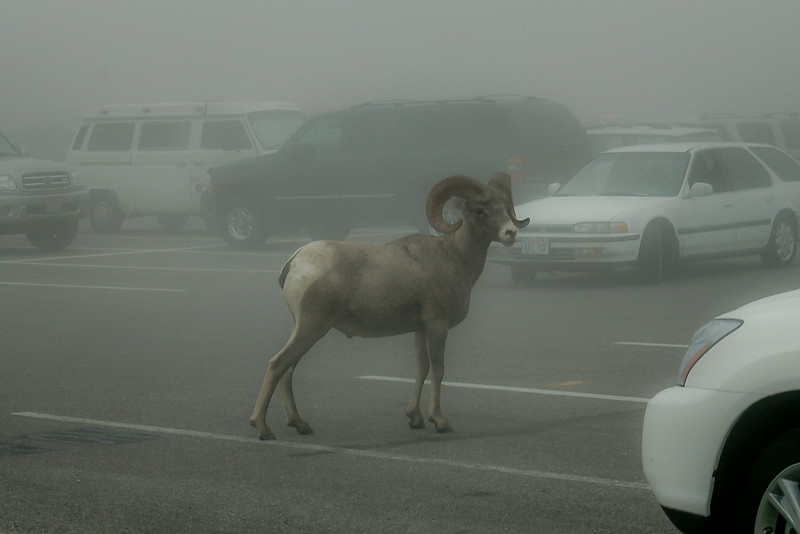 """July 30,<br /> <br /> Imagine being disoriented or lost in an unfamiliar place.  Uncomfortable feelings bubble up and can cloud clear judgement keeping one from making good decisions.  This is exactly what happened to this Bighorn Sheep in the parking lot at Glacier National Park.  This image was taken at the crest of Going-to-the-Sun Road; we had stopped to get some coffee at the visitor center when we spotted this bighorn.  Feelings of empathy washed over us, but like the other visitors that day we realized the best we could do was to give this sheep space to leave on its own.  The park rangers probably deal with this situation often in national park parking lots.  This sheep more than likely became disoriented in the fog that day.  The last place it probably wanted to be was in the middle of a parking lot of cars.  <br /> <br /> When in this situation it is such a relief and blessing to be on the receiving end of genuine help.  Thinking back to the times of being lost or disoriented, it is with deep gratitude and appreciation when a kind soul has offered their time and help to remedy the situation.  That is grace and it is wonderful. It makes one look forward to passing this gift on. <br /> <br /> """"The things you do for yourself are gone when you are gone, but the things you do for others remain as your legacy."""" ~Kalu Ndukwe Kalu<br /> <br /> Peace."""