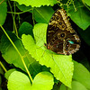 April 11,<br /> <br /> Like a butterfly evolving, we must love each stage we pass through.  Be not judgmental of yourself.  You are becoming a wondrous butterfly. ~ unknown<br /> <br /> This Peleides Blue Morpho resides at our nearby Butterfly Pavilion.  The pavilion is a wonderful place to see colorful and striking butterflies and moths in close proximity    It is a treat to be an observer of such fragile beauty. <br /> <br /> The contrast of this Morpho's design and color with its fragile body is striking.  The beautiful designs in its wings provide protection.  The beauty of this butterfly comes finally at the last stage of its short life. In comparison  we too have to endure the fragile stages that make up life to arrive at a more  peaceful place.  Whether it is periods of darkness, pain, uncertainty, or conflict, equipped with strength in  faith we are certain to arrive at a more beautiful stage. I am grateful for this.<br /> <br /> Happiness is a butterfly, which when pursued, is always just beyond your grasp, but which, if you will sit down quietly, may alight upon you. ~ Nathaniel Hawthorne<br /> <br /> Peace.