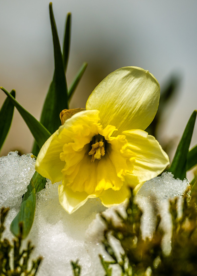 April 15,<br /> <br /> What would spring be without an image of snow and a bloom?  I could not resist.  The fragile bloom of the daffodil holds its own under the harsh conditions of spring.  This past Sunday the foothills and mountain towns of Colorado experienced an impressive afternoon storm that made home the place to be.  Monday began with beautiful bluebird blue skies and beautiful sunshine melting the abundance of snow and inviting people outdoors.  Another sign that spring is gaining ground on winter's hold.  <br /> <br /> This daffodil held its own in the harshness of  sleet, snow and freezing temperatures.  Exhibiting beauty through adversity, this daffodil provides a wonderful example from nature that we are stronger than we think.    <br /> <br /> Everybody needs beauty as well as bread, places to play in and pray in, where nature may heal and give  strength to the body and soul. ~ John Muir<br /> <br /> Peace.