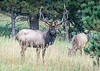 "September 29,<br /> <br /> The rut is the mating season of ruminant animals such as deer, sheep, elk, moose, caribou, camel, goats, pronghorn and Asian and African antelope.    We have elk and deer living near us and the elk rut has aspects of a wild party with the loud bugling and snorting. It keeps residents awake at night.  With this said it is always  fun to experience and live near this activity of autumn despite the sleep deprived nights.<br /> <br /> It was with sweet satisfaction that we settled at the dinner table last evening with Sara and we heard this bull elk bugle.  My camera and tripod were nearby so this image was taken from our back lower deck.  This bull paused long enough and looked me in the eye which gave me the perfect opportunity to press the shutter. <br /> I am grateful to live near the rawness and beauty of nature.  <br /> <br /> ""The elk rut is one of the most spectacular wildlife opportunities in the Rocky Mountains."" ~Glenn Plum<br /> <br /> Peace."