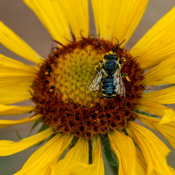 """July 22,<br /> <br /> Much is written about the importance of bees to our planet and for good reason since about a third of what we eat requires bee pollination. """"Fruits and seeds descended from insect pollination are the prime food source of about 1/4 of all birds, and of mammals from voles to grizzly bears. Honey production alone in the US is said to be valued at about $150 million.""""  The Value of Bees,-Xerces Society, University of Minnesota. <br /> """"The value of pollination by bees is estimated around $16 billion in the US alone. We would be unable to enjoy most of our favorite fruits, vegetables, or nuts without these pollinators. Bees also pollinate crops such as clover and alfalfa that cattle feed on, making bees important to our production and consumption of meat and dairy."""" - Beespotter<br /> <br /> This year I have noticed more bees. Whether the population is stabilizing or there is just more awareness on my part, I do not know.  When spotted, thoughts of their importance come to mind, and it is fun to observe a pollinator in action.  This image was taken at Staunton State Park.  This bee was enjoying the pollen on a blanket flower that decorated the trails.  I am grateful for the people working to maintain the health of this highly important pollinator and to all the bee keepers as well.  <br />  <br /> """"One can no more approach people without love than one can approach bees without care. Such is the quality of bees..."""" ― Leo Tolstoy<br /> <br /> Peace."""