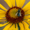 "July 22,<br /> <br /> Much is written about the importance of bees to our planet and for good reason since about a third of what we eat requires bee pollination. ""Fruits and seeds descended from insect pollination are the prime food source of about 1/4 of all birds, and of mammals from voles to grizzly bears. Honey production alone in the US is said to be valued at about $150 million.""  The Value of Bees,-Xerces Society, University of Minnesota. <br /> ""The value of pollination by bees is estimated around $16 billion in the US alone. We would be unable to enjoy most of our favorite fruits, vegetables, or nuts without these pollinators. Bees also pollinate crops such as clover and alfalfa that cattle feed on, making bees important to our production and consumption of meat and dairy."" - Beespotter<br /> <br /> This year I have noticed more bees. Whether the population is stabilizing or there is just more awareness on my part, I do not know.  When spotted, thoughts of their importance come to mind, and it is fun to observe a pollinator in action.  This image was taken at Staunton State Park.  This bee was enjoying the pollen on a blanket flower that decorated the trails.  I am grateful for the people working to maintain the health of this highly important pollinator and to all the bee keepers as well.  <br />  <br /> ""One can no more approach people without love than one can approach bees without care. Such is the quality of bees..."" ― Leo Tolstoy<br /> <br /> Peace."