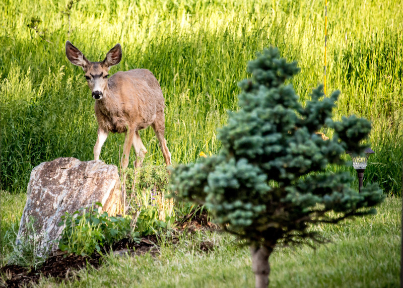 "June 11,<br /> <br /> Here in the foothills residents have flower beds with the full knowledge that the deer and elk can be expected to nibble and savor what is planted.  We have options that rarely get bothered such as Russian sage and day lilies.    I know this.  This year I risked planting bee balm for the first time.  I was told these critters do not like the scent of this plant.  This year I was out of a spray that can be applied as a deterrent to elk and deer.  So I was exposed.  <br /> <br /> This morning while enjoying coffee on the deck, I spotted this deer heading for the plant in question. Feeling entitled I shooed it away with my voice.  It was then I noticed that it had a limp.  My heart felt sad and shamed.  Did it really take a limp to tweak the soft spot of my heart?  Is it too much for me to give these creatures a treat from their normal diet of grass? I learned my lesson.  I will stick to the tried and true plants for my front beds as these are the more truly resistant to deer and elk.  And if these are nibbled, I will be generous because these animals add so much to the experience of living in this area.  It is okay if my flower bed is enjoyed by all.   <br /> <br /> ""Real generosity is doing something nice for someone who will never find out.""<br /> ~Frank A. Clark<br /> <br /> Peace."