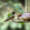"""July 24,<br /> <br /> The hummingbirds are in feeding frenzy at this time in the summer.  Some are using their skills to manipulate their time at the feeder. There is not an abundance of grace displayed as most are showing signs of bullying.  In some instances the hummie is not interested in the nectar but in keeping other  hummies away. The instances grace was displayed was by the very young hummie.  It seems they have not learned how to force their way to the feeder.   These birds must feel the pull of nature to take in as many calories as they can to prepare for the long journey that lies ahead in late summer.  Regardless, they are highly entertaining to watch.  <br /> This image was taken while waiting for an appointment.  It is lovely to be entertained by these amazing birds.  They can make the waiting time most enjoyable.  <br /> <br /> """"A flash of harmless lightning, a mist of rainbow dyes, the burnished sunbeams brightening, from flower to flower he flies."""" ~ John Tabb<br /> <br /> Peace."""