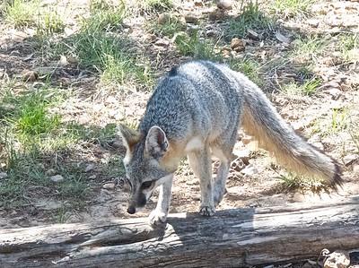050713-10 gray fox
