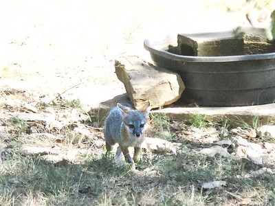++Fox Cubs Play in Yard – Version 2