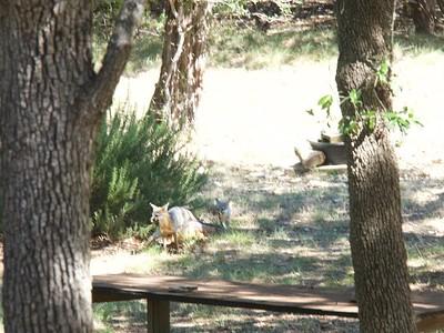 +Fox Cubs Play in Yard – Version 2