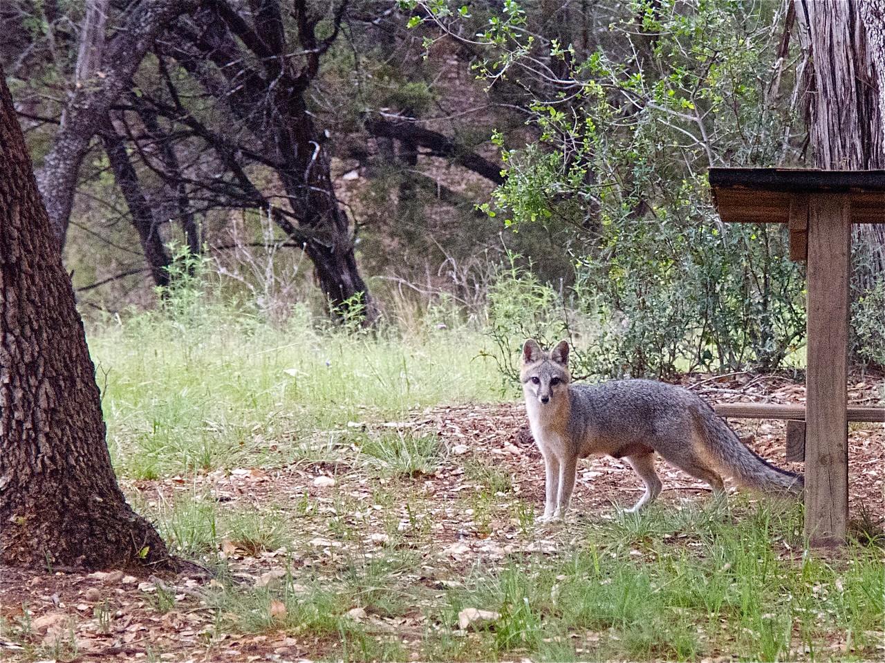 050913-02 gray fox