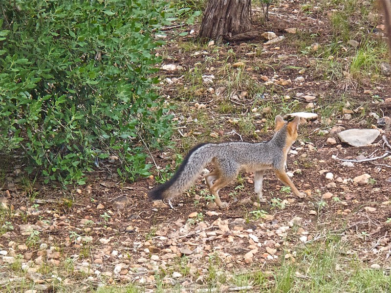 071914-19 Fox