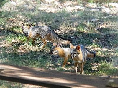 ++Fox Cubs Play in Yard – Version 2