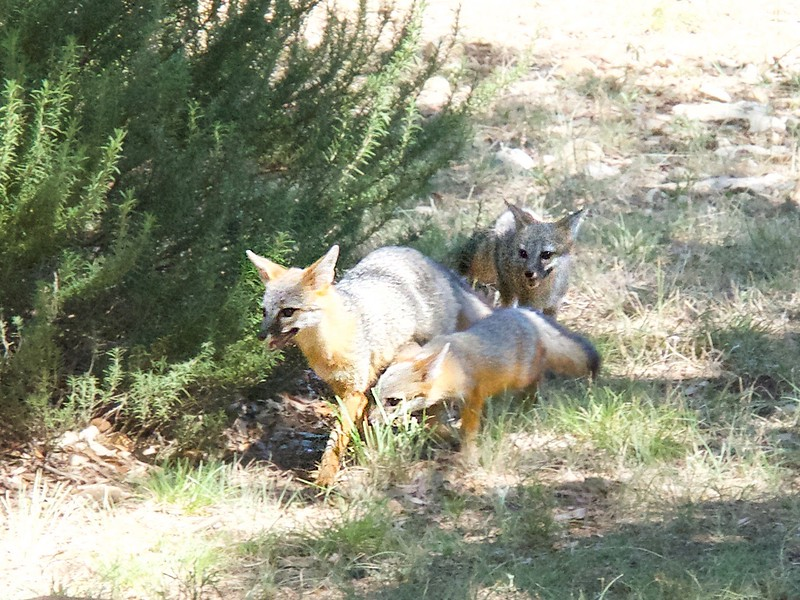 +++Fox Cubs Play in Yard - Version 2