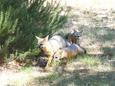 +++Fox Cubs Play in Yard - Version 2