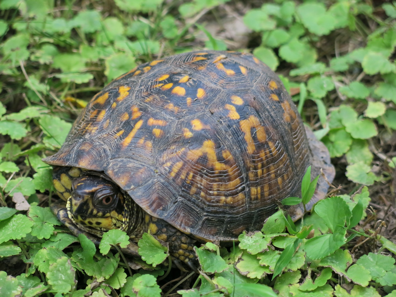 Tortoise along the towpath