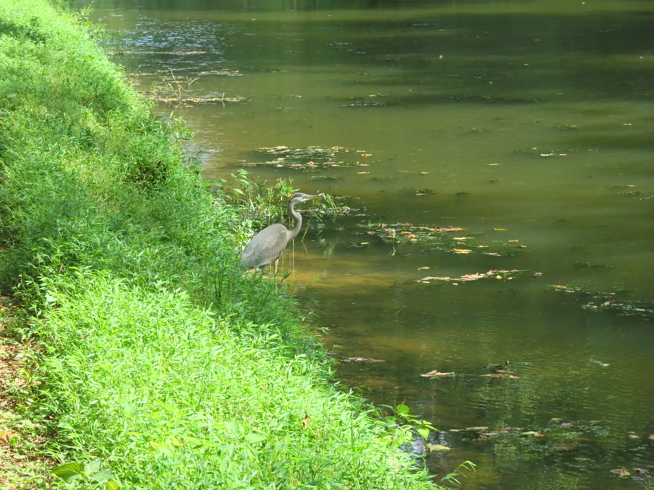 Heron next to towpath and at the edge of the canal