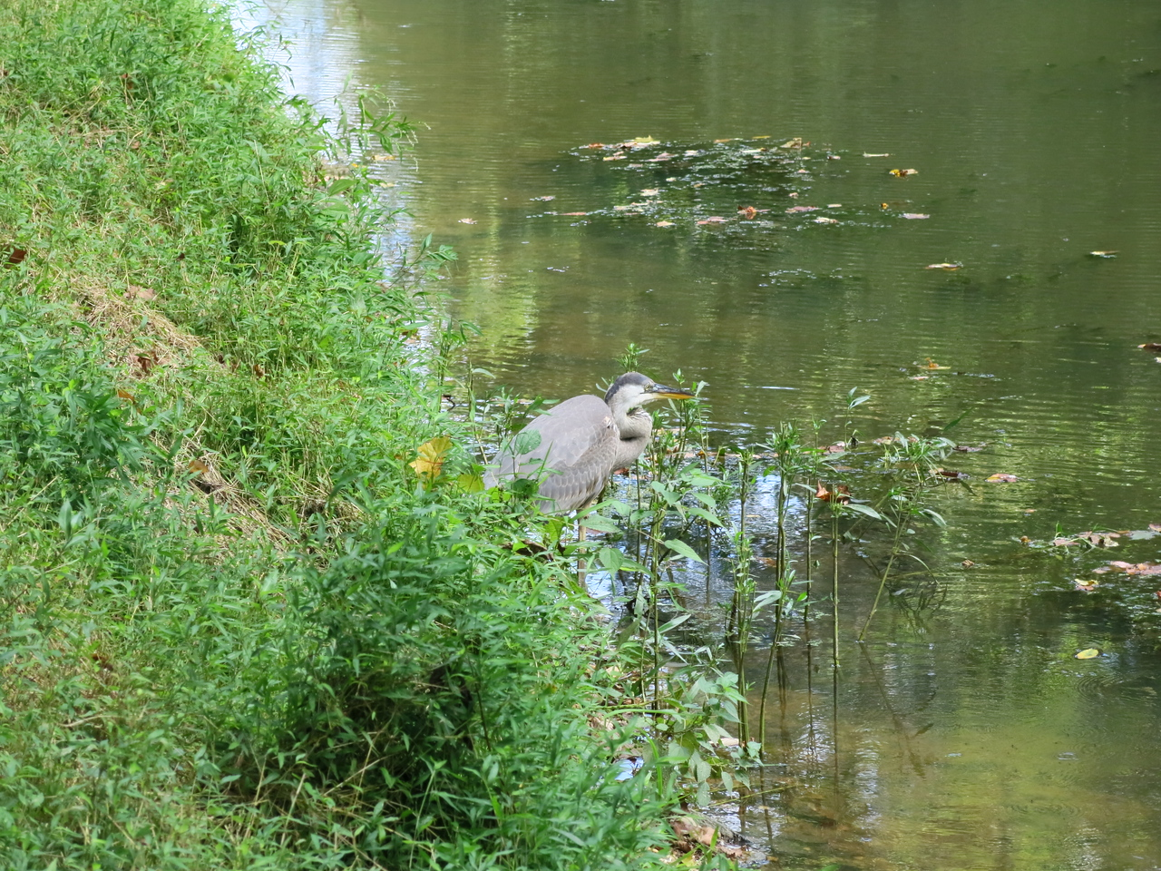 The heron was bothered by bikes and people close by
