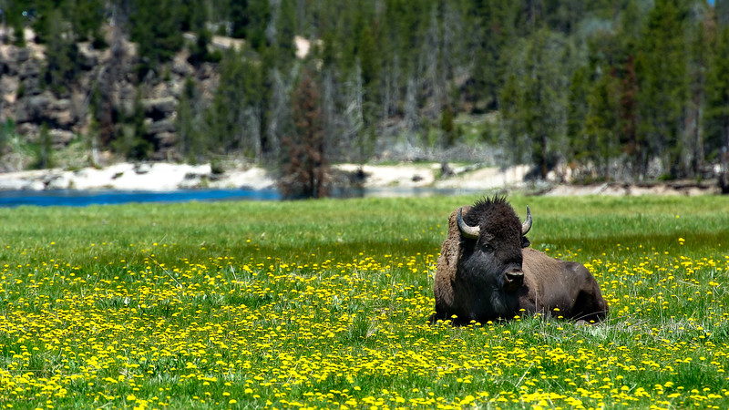 Buffalo; Hayden Valley; Yellowstone National Park; Wyoming; USA