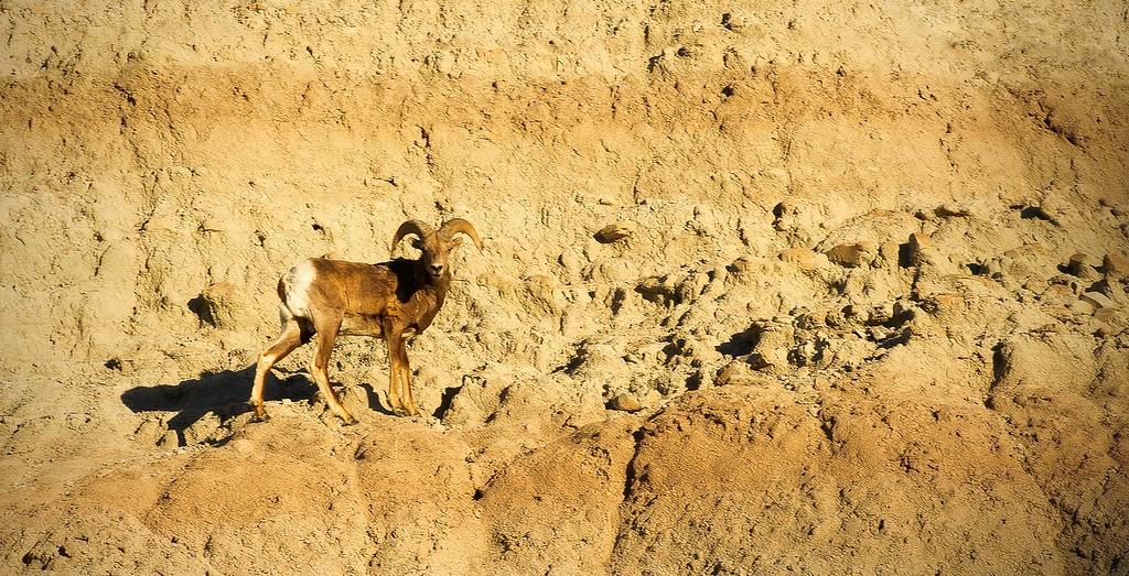 Bighorn Sheep; Badlands National Park; South Dakota; USA