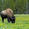 Buffalo; Hayden Valley; Yellowstone National Park; Wyoming; USA
