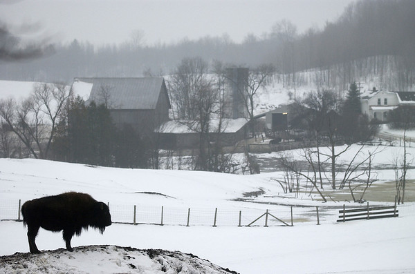 Record-Eagle/Tyler Sipe<br /> A solitaire buffalo stands on a small mound at The Fitch Farm off of Highway 31 and Kyselka Road in Traverse City. Nearly 600 buffalo are raised by Oleson's Food Stores on about 350 acres of open land.