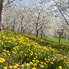 Record-Eagle/Douglas Tesner<br /> Sweet cherry trees and dandelions are in bloom along M-22 in Leelanau County, just south of Suttons Bay. According to the Leelanau County MSU Extension service, apricot trees bloom first, followed by sweet cherry, tart cherry and apple trees. A high-pressure system that will settle over the region on Sunday will bring with it the potential for frost Sunday night into Monday morning, the National Weather Service in Gaylord reported. The weather service will wait until Sunday afternoon to determine if it should issue a frost advisory.