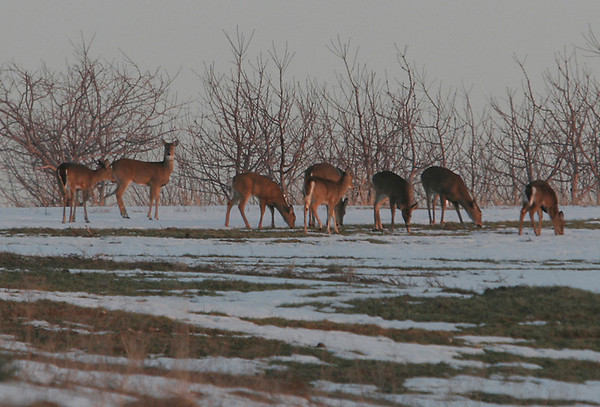 Record-Eagle/Douglas Tesner<br /> Deer play and feed in a field off M-22 near Suttons Bay