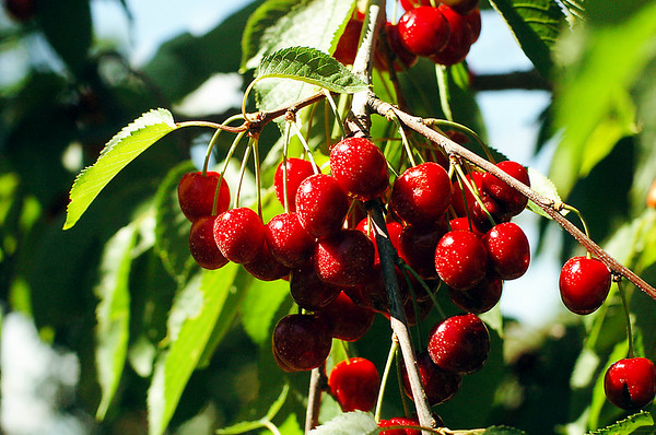 Record-Eagle file photo/Tyler Sipe<br /> Near ripe cherries at Hoxsie's Farm Market in Acme Township.